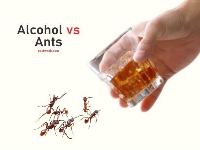 Does Alcohol Kill Ants?