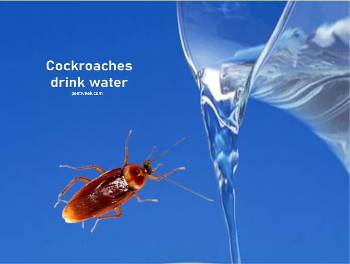 Do cockroaches drink water?