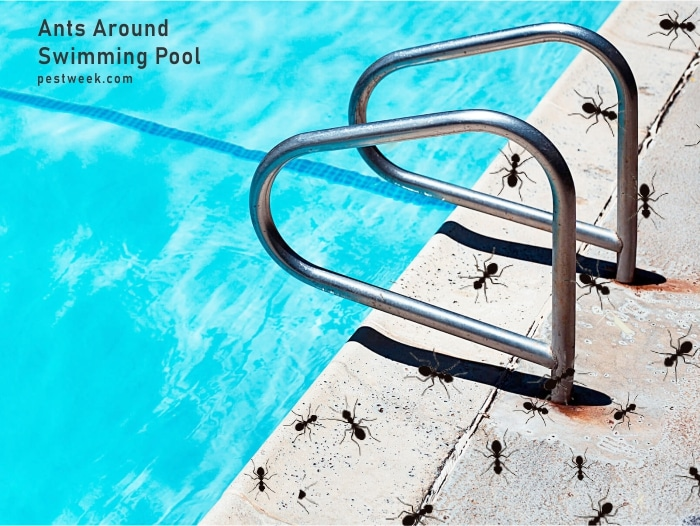 Ants Around Swimming Pool