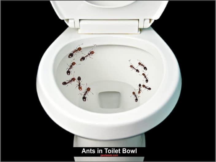 Ants in Toilet Bowl