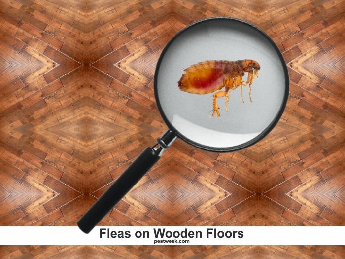 Fleas on hardwood floors