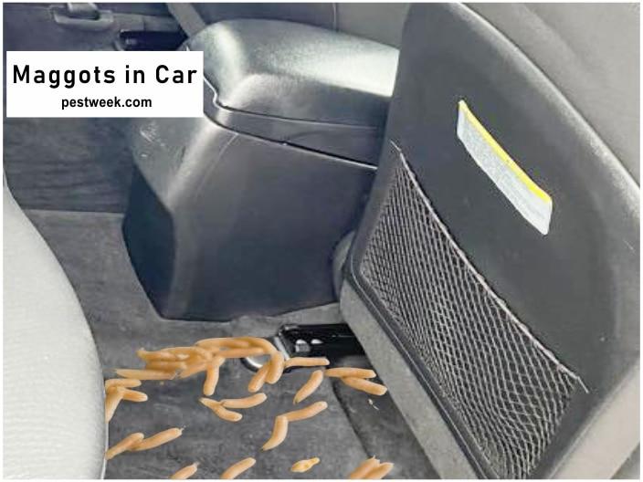 Maggots in Car