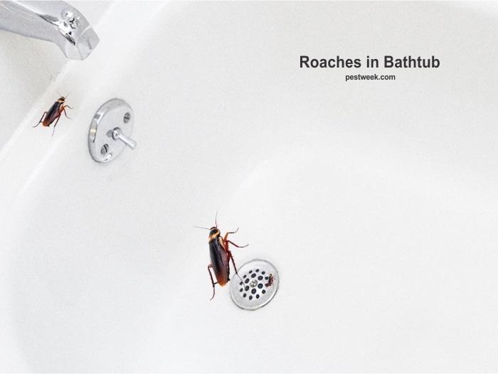 Roaches in bathtub