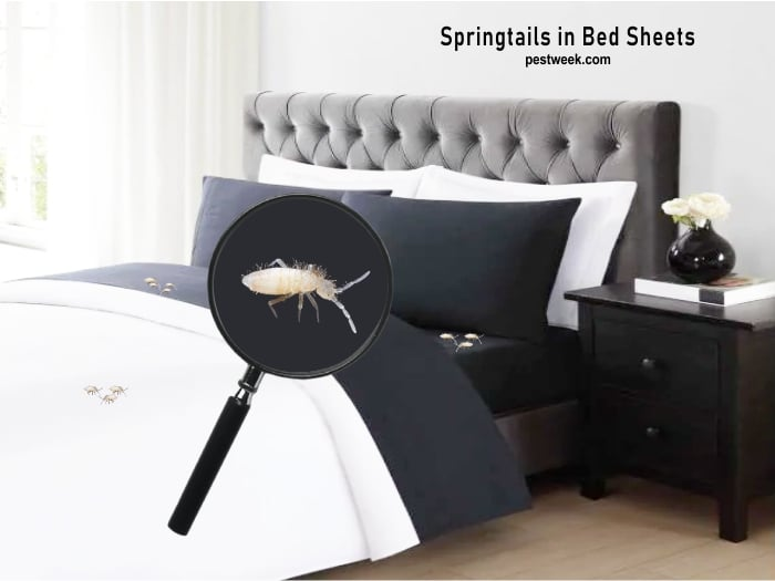Springtails in Bed Sheets
