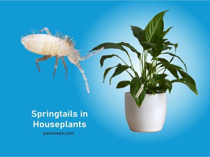 Springtails in Houseplants