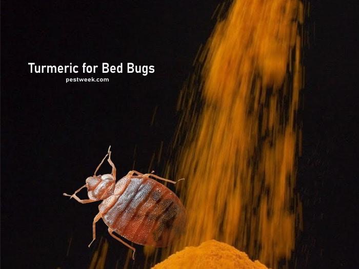 Does Turmeric Kill Bed Bug?