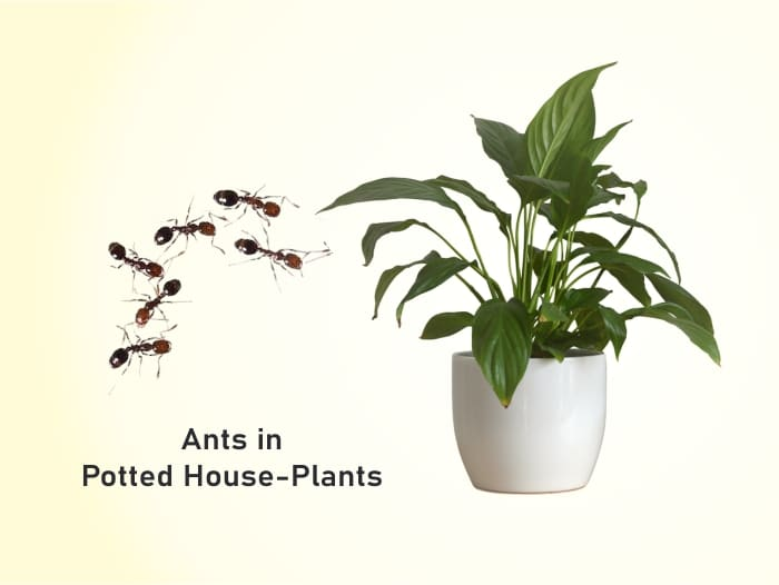 Ants in Potted Houseplants