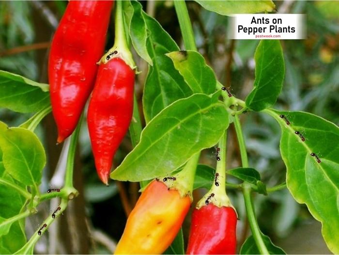 Ants on Pepper Plants
