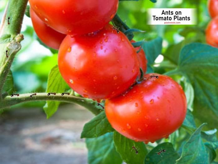 Ants on Tomato Plants