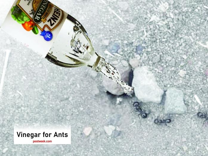 Does White Vinegar Kill Ants?
